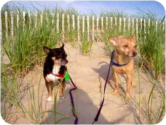 Chihuahua Mix Dog for adoption in Manahawkin, New Jersey - Max & Pee Wee