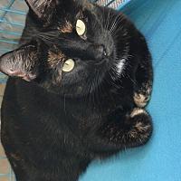 Domestic Shorthair Cat for adoption in Atlanta, Georgia - Iris