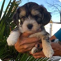 Adopt A Pet :: Sir Felice Varesi adorable pup - Corona, CA