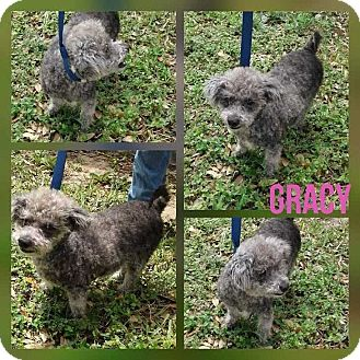 Standard Poodle Mix Dog for adoption in Mesa, Arizona - GRACY