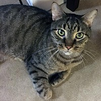 Adopt A Pet :: Ross Cuddling, Adorable Tabby - Brooklyn, NY