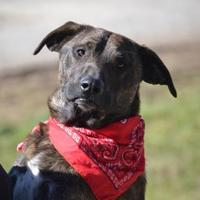 Adopt A Pet :: Blayne - Talking Rock, GA