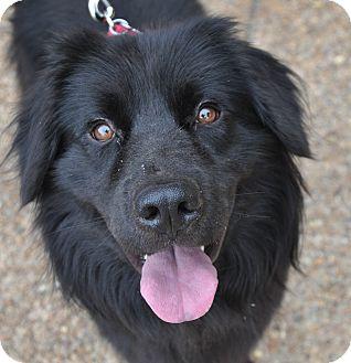 Flat-Coated Retriever/Retriever (Unknown Type) Mix Dog for adoption in Atlanta, Georgia - Neil