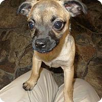 Adopt A Pet :: Grivet - Washington, DC