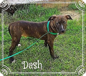 Labrador Retriever/Plott Hound Mix Puppy for adoption in Vernon, Connecticut - Dash