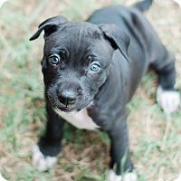 Adopt A Pet :: Cody $250 - Seneca, SC