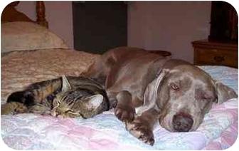 Weimaraner Dog for adoption in Toledo, Ohio - MOLLY