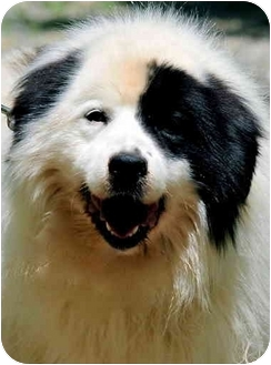 Great Pyrenees Mix Dog for adoption in Pawling, New York - HUDSON