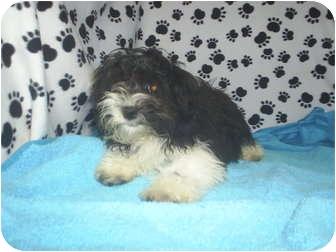 Coton de Tulear Puppy for adoption in celina, Ohio - ginny
