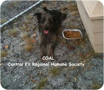 Border Terrier/Fox Terrier (Wirehaired) Mix Dog for adoption in Lancaster, Kentucky - Coal