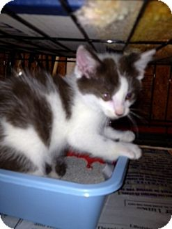 American Shorthair Kitten for adoption in Salem, New Hampshire - Mosby