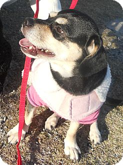 Chihuahua/Dachshund Mix Dog for adoption in Jacksonville, North Carolina - Bitsy