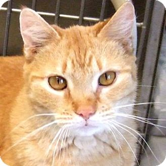 Domestic Shorthair Cat for adoption in Sprakers, New York - Patty