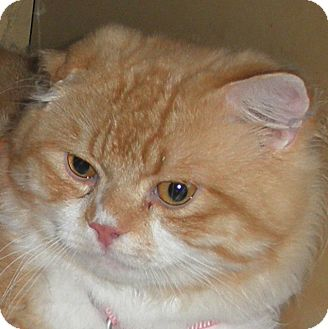 Persian Cat for adoption in Brimfield, Massachusetts - Romeo