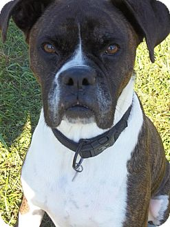 Boxer Dog for adoption in New Milford, Connecticut - Lover boy! Cody