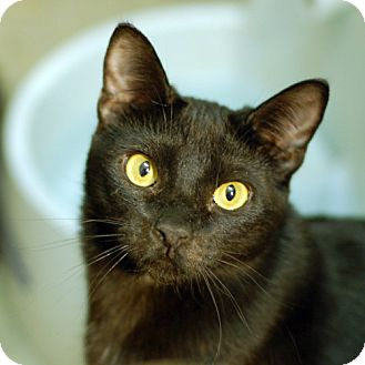 Domestic Shorthair Cat for adoption in Winchester, California - Licorice