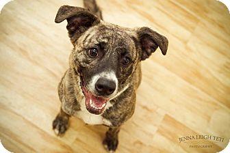 Dutch Shepherd/Plott Hound Mix Dog for adoption in Jersey City, New Jersey - Sadie Hawkins