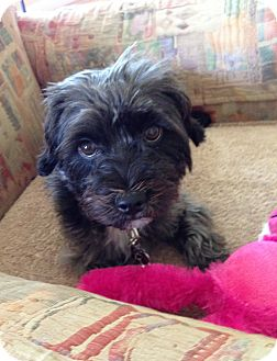 Cairn Terrier/Silky Terrier Mix Puppy for adoption in Los Angeles, California - Lauren