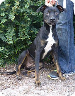 Manchester Terrier/Terrier (Unknown Type, Medium) Mix Dog for adoption in Oviedo, Florida - Pennie