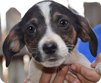 Beagle Mix Puppy for adoption in Plainfield, Connecticut - Brave