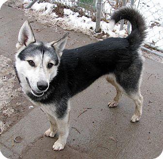 Husky Mix Dog for adoption in Seattle, Washington - WILLY