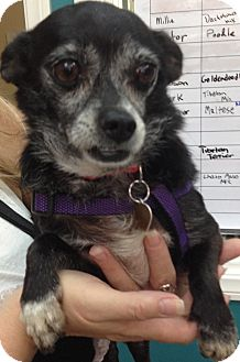 Chihuahua Mix Dog for adoption in Thousand Oaks, California - Mora