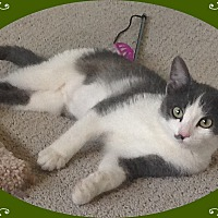 Domestic Shorthair Cat for adoption in Mt. Prospect, Illinois - Gabbana