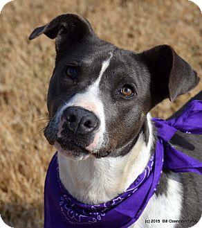 Pit Bull Terrier/Labrador Retriever Mix Dog for adoption in Patterson, California - Suki