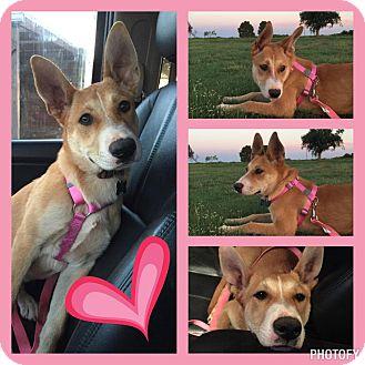 Akita/Husky Mix Dog for adoption in Snyder, Texas - Stevie Nicks