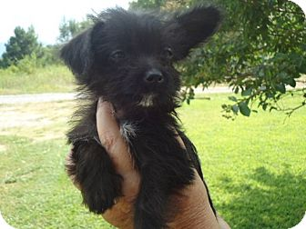 Poodle (Miniature)/Chihuahua Mix Puppy for adoption in Allentown, Pennsylvania - Chrissy