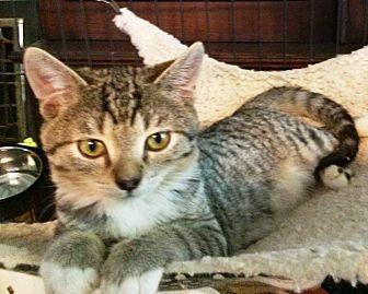 Domestic Mediumhair Cat for adoption in Pasadena, California - Bean