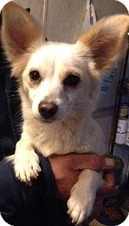 Papillon Mix Dog for adoption in Saddle Brook, New Jersey - Hannah