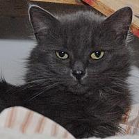 Adopt A Pet :: Sasha - Jaffrey, NH