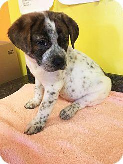 Hound (Unknown Type) Mix Puppy for adoption in Boca Raton, Florida - Mackenzie