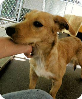 Labrador Retriever/Basset Hound Mix Dog for adoption in Henderson, North Carolina - Scrappy Do