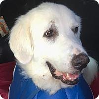 Adopt A Pet :: Pearl - Kyle, TX