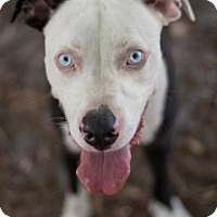 Adopt A Pet :: Sinatra  ***In Foster*** - Bradenton, FL