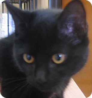 Domestic Shorthair Cat for adoption in Garland, Texas - Belle