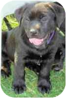 Labrador Retriever/Retriever (Unknown Type) Mix Puppy for adoption in Rockville, Maryland - Lavender