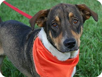 Basset Hound/Shepherd (Unknown Type) Mix Dog for adoption in Melrose, Florida - Duncan