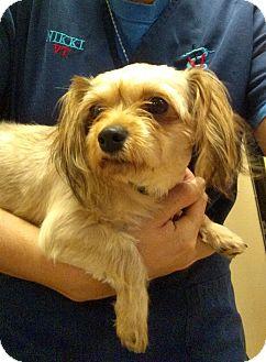 Yorkie, Yorkshire Terrier/Maltese Mix Dog for adoption in Oviedo, Florida - Gabby