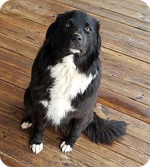 Border Collie/Labrador Retriever Mix Dog for adoption in East Hartford, Connecticut - Ellie meet me 2/3