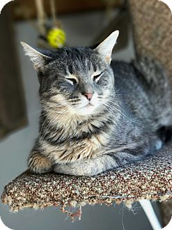 Domestic Shorthair Cat for adoption in Hanna City, Illinois - Rose