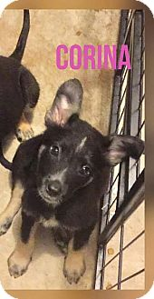 Australian Shepherd/Collie Mix Puppy for adoption in Mesa, Arizona - CORINA