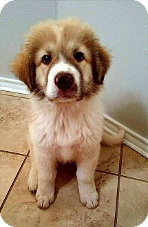 Great Pyrenees/Shepherd (Unknown Type) Mix Puppy for adoption in Claremont, New Hampshire - Ray - Arrives 6/26!