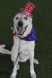 Anatolian Shepherd/Akbash Mix Dog for adoption in Odessa, Florida - Jake