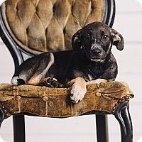 Adopt A Pet :: Cho Cang - Portland, OR