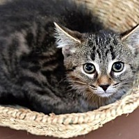 Adopt A Pet :: Stevie Nicks - Williamston, MI