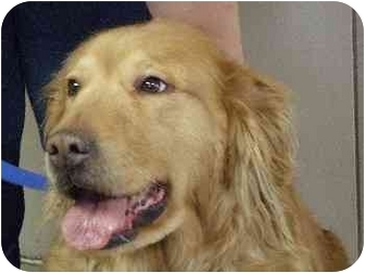 Golden Retriever Dog for adoption in Mason City, Iowa - Alexis
