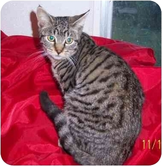 Domestic Shorthair Cat for adoption in Lake Charles, Louisiana - Frisky